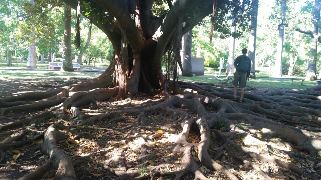 Mutmaßlicher Bodhi-Baum im Botanischen Garten